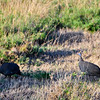 Helmeted Guinea Fowl. Serengeti National Park, Tanzania