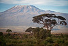 Acacia and Mt Kilimanjaro, morning