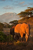 Early morning light, elephant and Mt Kilimanjaro