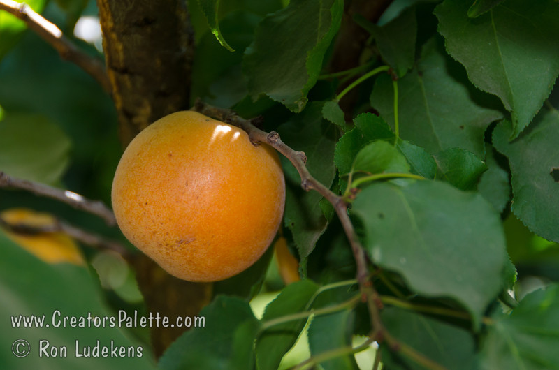 Blenheim Apricot, Royal Apricot (Prunus armeniaca sp.) Extremely popular.  Medium to large.  Skin soft yellow with orange cheek.  Flesh pale orange, juicy; flavor delicious.  Equally valuable for canning and drying.  Ripens: Late June to Early July. 400-500 hour chilling required.
