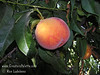 Bonita Peach (Prunus persica) An excellent peach that bears well in milder and coastal climates.  Medium to large, Elberta type peach.  Red blushed skin.  Yellow flesh, fine flavor.  Freestone.  Self Fertile.  Ripens: Late July. Requires only 250 hours chilling.
