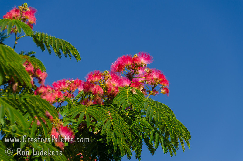 Albizia julibrissin 'Fan Silk' - Flame Mimosa - Silk Tree<br /> A special selection which features a bolder, brighter red flowers.  Fluffy flowers bloom from May to august.  Fern-like leaves provide filtered shade.  Seed pods in the fall.  Grows to a mature height of 30-40 feet and spread to 40 feet.  Gold hardy to USDA Zone 6.  Ths special selection from Fanick's Nursery in San Antonio, Texas.