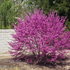 """Westren Redbud - Cercis occidentalis<br /> Native to California. This small tree delivers a 3 week brilliant display of magenta flowers in spring.  Summer foliage is handsome blue-green. 3"""" leaves notched or rounded at tip.  Can be grown as a multi-stem bush or single trunked tree.  Height ranges from 15-20 ft with same spread.  Very drought tolerant.  Cold hardy to U.S.D.A.  Zone 7, some say 6."""