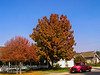 Quercus rubra - Red Oak (Northern Red Oak, Eastern Red Oak)<br /> Large, fast grower (for oaks). Broad-headed tree. Leaves are very large. Color turns from rich dull green to dark red in fall, turning brown before dropping. Tolerant of air pollution.  Prefers acidic soils.  50-75' tall x 40-60' wide. Cold hardy to USDA Zone 4, many say 3.