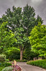Shumard Oak (Quercus shumardii)<br /> Similar to Scarlet Oak.  Tolerates moist, acidic, poorly drained soils.  Moderate growth rate, eventually attains a height of 50-90 feet with a 40-50 foot spread.  Bark is gray, ridged, and furrowed.  Leaves are a bright green with deeply cut lobes.  In fall, the foliage turns delightfully red.  Cold hardy to USDA Zone 5 although some say 4.<br /> Image taken at Dallas Arboretum 5-12-2012
