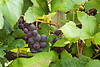 Grapes Ready for Harvest, Richland County, Wisconsin