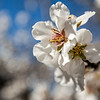 White Almond Blooms