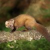 Pine marten from the hide at Aigas