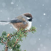 Boreal Chickadee<br /> Anchor Point, AK