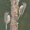 Black-capped Chickadees<br /> Anchor Point, AK