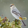Pine Grosbeak<br /> Anchor Point, AK
