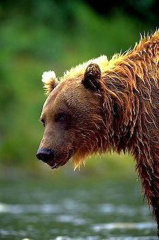 side-view-brown-bear_4224