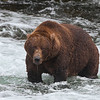 Old warrior bear at Brooks Falls, Katmai National Park, Alaska