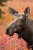 A cow, or female, moose (Alces alces) in the fall foliage. Taken in Denali National Park, Alaska, USA.