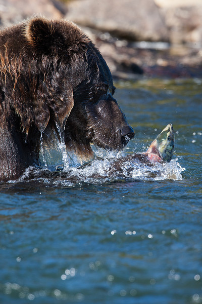 A brown bear, also known as a grizzly bear (Ursus arctos horribilis) with a salmon. Taken on the Katmai Peninsula, Alaska, USA.