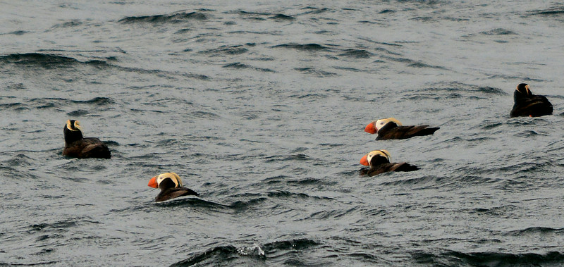 2 - Tufted Puffins - Island near Sitka