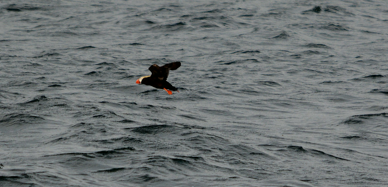 3 - Tufted Puffin - Island near Sitka