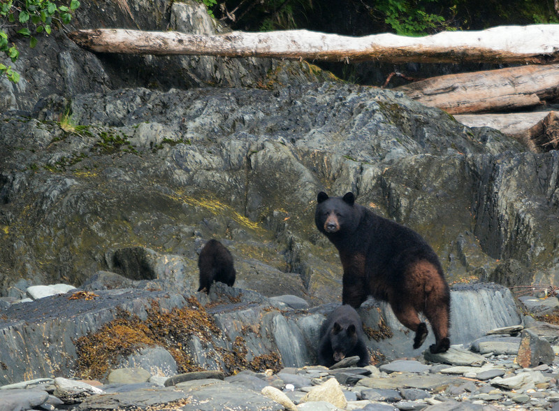 1 - Brown Bear with Cubs - Metlakatla to Misty Fjord