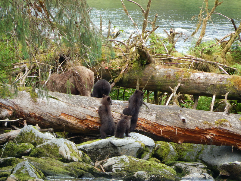 cubs on log