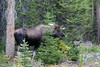 A bull, or male, moose (Alces alces), in the forest. Taken in Spray Valley Provincial Park, Alberta, Canada.