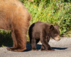 A black bear cub (Ursus americanus) stands next ot its cinnamon-colored mother in Waterton Lakes National Park, Alberta, Canada.