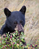 A black bear cub (Ursus americanus) eats saskatoon berries. Taken in Waterton Lakes National Park, Alberta, Canada.