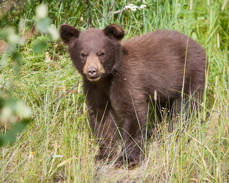 A cinnamon-colored black bear cub (Ursus americanus). Taken in Waterton Lakes National Park, Alberta, Canada.