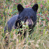 A black bear cub (Ursus americanus) is surrounded by saskatoon berries. Taken in Waterton Lakes National Park, Alberta, Canada.