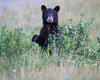 A black bear cub (Ursus americanus) stands on its hind legs. Taken in Waterton Lakes National Park, Alberta, Canada.