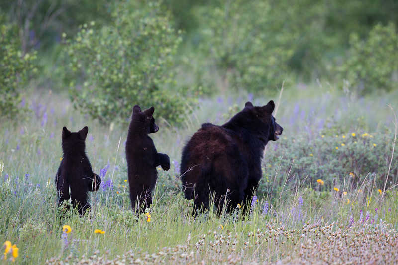 A black bear mother (Ursus americanus) and her two cubs keep alert, looking for danger. Taken in Waterton Lakes National Park, Alberta, Canada.