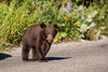 A black bear cub (Ursus americanus) begins to cross the road. Taken in Waterton Lakes National Park, Alberta, Canada.