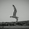 Soaring Gull Black And White
