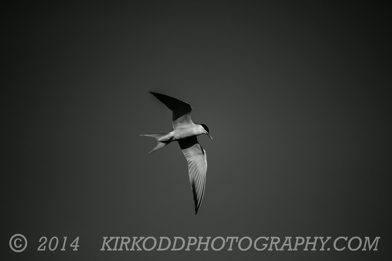 Old Fashioned Tern - Black And White