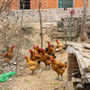 Chicken. Hefei, Anhui, China (合肥,安徽,中国)