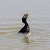Double Crested Cormorant (Phalacrocorax auritus) catching a fish. Fremont Central Park - Fremont, CA, USA