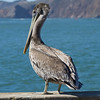 California Brown Pelican (Pelecanus occidentalis). San Francisco, CA, USA