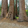 Giant Sequoia (Sequoiadendron giganteum).  General Grant Grove - King's Canyon National Park, CA, USA