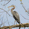 Great Blue Heron (Ardea herodias). Shadow Cliff Regional Park - Pleasanton, CA, USA