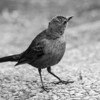 Female Brewer's Blackbird (Euphagus cyanocephalus). Yosemite Village - Yosemite National Park