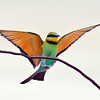 Rainbow Bee-eater.<br /> Seven Mile Beach, New South Wales.