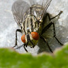 Flesh Fly ( Sarcophaga carnaria)
