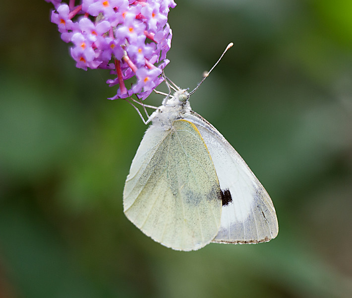 Cabbage White (Pieris brassicae)