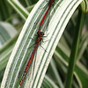 Large Red damselflies (Pyrrhosoma nymphula)