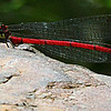 Large Red damselfly(Pyrrhosoma nymphula)