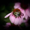 A bee explores a Coneflower