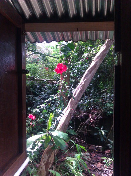 the view out of the kitchen window (no glass, no screen, just hibiscus)