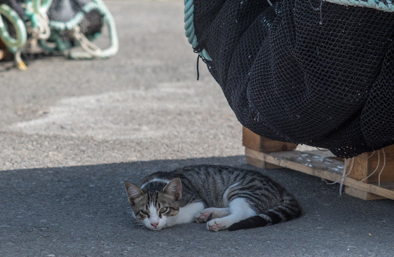 20 September 2014: one of the many cats who live in the fishing harbour of El Campello.
