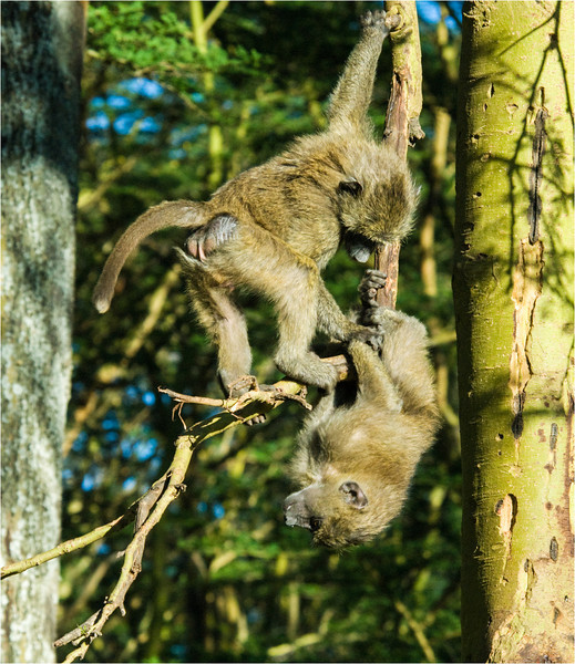 Young Baboons at Play