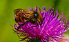 Honey bee on a Common Thistle by the Wild Wolf River within the Wolf River Refuge and northeast Wisconsin (USA WI White Lake)