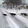 Turkey Crossing! in  Lorain